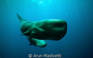 a swim past at 30 ft, taken on snorkel and under permit. by Arun Madisetti 